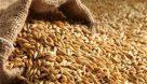 تولید ۲.۱ تن بذر گندم در تعاون روستایی اندیمشک