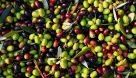 بیش از ۱۲۰ هزار تن میوه زیتون در کشور برداشت شد