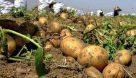 ارزان ترین سیب زمینی دنیا به ایران اختصاص یافت  هر کیلو ۱۵ سنت