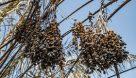 سوختن بیش از ۲۲۰۰ نخل در نخلستانهای اروندکنار