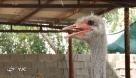 تعاونیها نجات پخش صنعت پرورش شترمرغ از دست دلالان