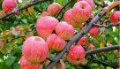برداشت سیب گلاب از باغات خوزستان