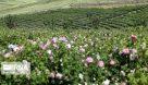 سامانه بازارگاه گیاهان دارویی در خوزستان راهاندازی شد