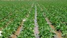 به دلیل خشکسالی و افزایش هزینه های تولید؛ بخشی از قراردادهای کشت چغندر بهاره فسخ شد