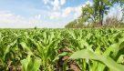 اختصاص بیش از ۴۰۰ هکتار مزارع باغملک به کشت تابستانه