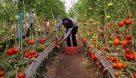 پیش بینی توسعه ۳۰۵۲ هکتاری گلخانه ها در سال ۱۴۰۰