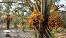 پیشبینی برداشت ۲۳۵ هزار تن محصول از نخلستانهای خوزستان