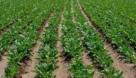 اختصاص ۲۵۰ هکتار از مزارع باوی به کشت ذرت