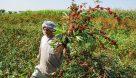 زندگی به رنگ سرخ چای در مزرعه ابو حمزه