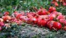 خوزستان قطب باغبانی کشور/ برداشت یاقوتهای سرخ ادامه دارد